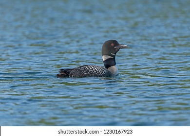 Loon Calling on a Ottertrack Lake in Quetico Provincial Park