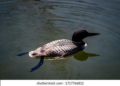 Loon Up Close With Plain Water Background