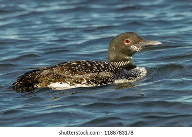 Loon closeup on slight chop