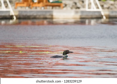 Loon is looking for fish on a lake inside the Algonquin Provincial Park in Ontario, Canada.