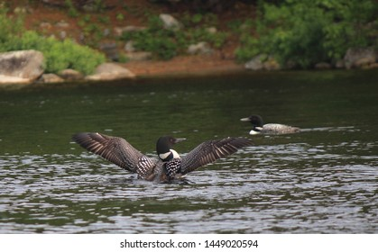 A loon on a pond spreads its wings in the middle foreground as another loon swims by in the background. Behind them is the shore of the pond covered in red pine needles, gray rocks, and green trees.