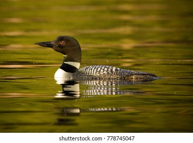 Loon swimming on Canadian lake