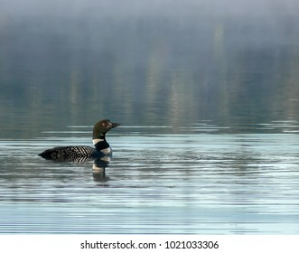 loon swimming on a lake in the early morning mist