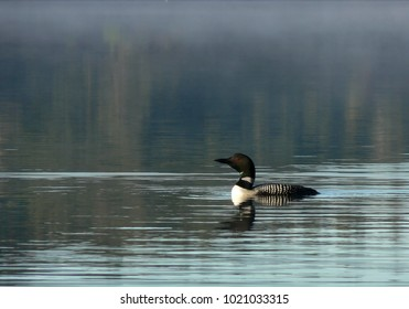 loon swimming on lake in the early morning mist