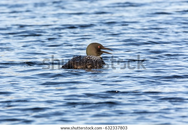 Loon In The Water
