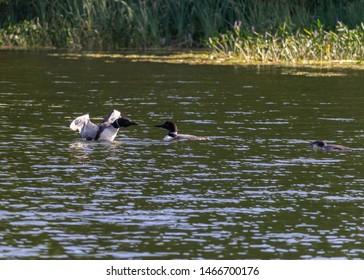Loons on Pettit Lake Michigan - Loon Family