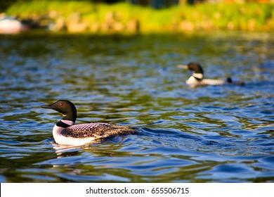 Loons swimming in MInnesota lake