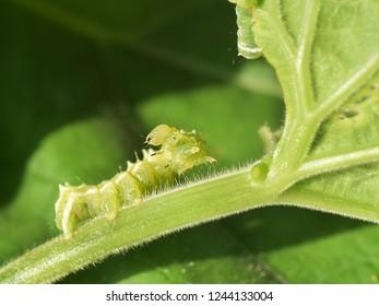 Looper caterpillar pest on pumpkin leaf.