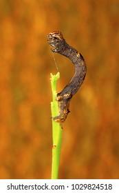 Looper Moth caterpillar , Aarey Milk Colony , INDIA
