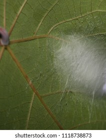 A Looper Moth's cocoon made out of white silk on the underside of a leaf. This photo was taken in Brisbane, Australia.