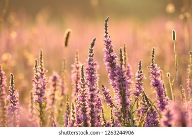 Loosestrife (Lythrum salicaria) at dawn.