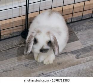 Lop eared bunny... Bunny nose... Posing bunnies! Holland Lop