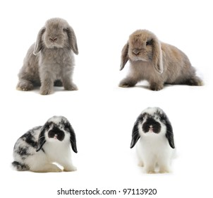 Lop Rabbit in front of a white backgroun