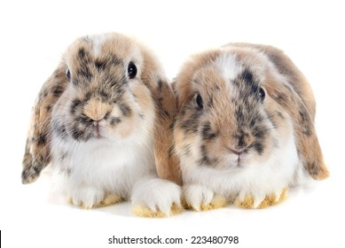 Lop Rabbit in front of white background
