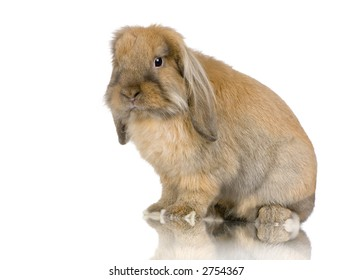 Lop Rabbit in front of a white background