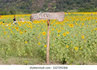 Lopburi, Thailand :- Dec 1, 2017:- Landmarks View Closeup Beautiful of a Sunflower or Helianthus in Sunflower Field, Bright yellow sunflower at Lopburi, Thailand