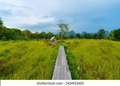 LOPBURI ,THAILAND -May 4 ,2019 : Many tourists visit the yellow cosmos flowers blooming with wooden bridge in Lopburi, Thailand