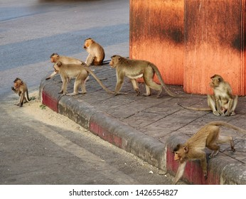 Lopburi, Thailand-February 25, 2019: Crab Eating Macaques (Macaca fascicularis) that live in the area of the Monkey Temple (Phra Phrang Sam Yot) wait  for a break in traffic so they can cross the road