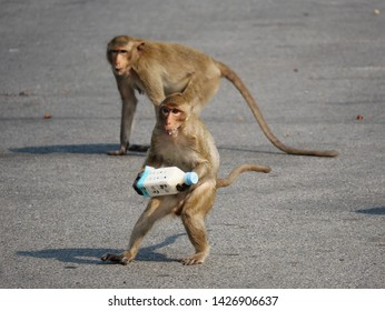 Lopburi, Thailand-February 25, 2019: Crab Eating Macaques (Macaca fascicularis) that live in the area of the Monkey Temple (Phra Phrang Sam Yot) runs upright with stolen bottle of milk.