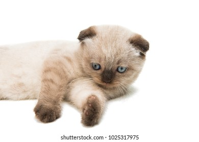 lop-eared kitten isolated on white background