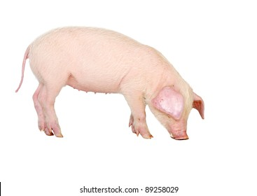 Lop-eared pig breeds Landrace (Wales) Isolated