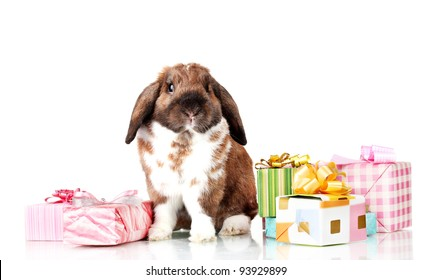 Lop-eared rabbit with gift boxes isolated on white
