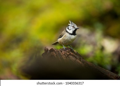 Lophophanes cristatus. Nature of Europe. Wild Scandinavian nature. Beautiful picture. From bird life. Color photograph. Finland.
