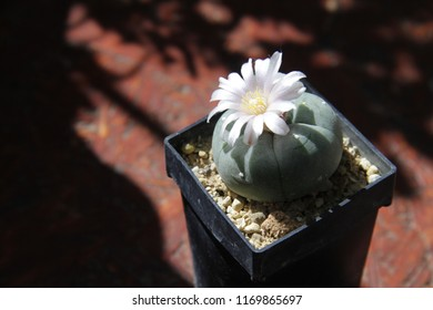 Lophophora Williamsii - Peyote - Flowering