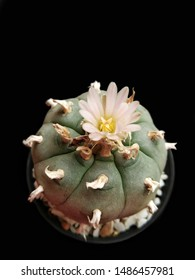 Lophophora williamsii or peyote is a small, spineless cactus.