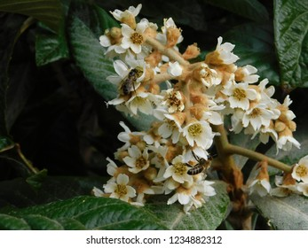 Loquat or eriobotrya japonica tree floers, in autumn, and honey bees, or apis mellifera, in Glyfada, Greece
