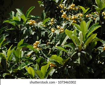 A loquat or eriobotrya japonica tree with fruit at springtime, in Glyfada, Greece