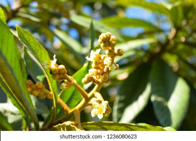 Loquat in flower. This is a cultivar intended for home-growing, where the flowers open gradually resulting in fruit also ripening gradually. Its fruits taste is citric and sweet.