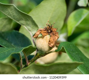 Loquat fruit. young green fruit of the Japanese medlar on the branches. Loquat Young fruit. Loquat tree with immature fruit.