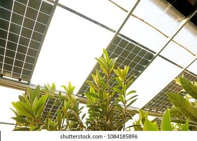 Loquat in Solar photovoltaic greenhouse