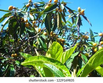 Loquat tree with fruits, Malaga, Spain, April 2010