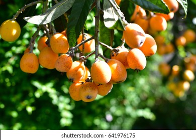 Loquat tree plant orange juice fruits bunch
