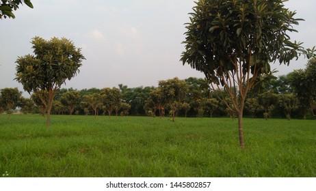 Loquat trees in garden loquat botanical name is Eviobotrya Japonica