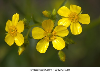 lora of Gran Canaria - bright yellow flowers of Ranunculus cortusifolius, Canary buttercup natural macro floral background