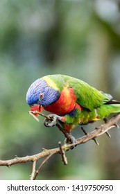 Lori parrot portrait. With colorful head. Curious about everything whats happening.