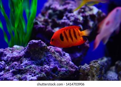 Theflame angelfish(Centropyge loriculus). Marine angelfishfrom thePomacanthidae family