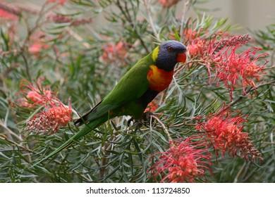 Lorikeet Grevillea flowers Australia