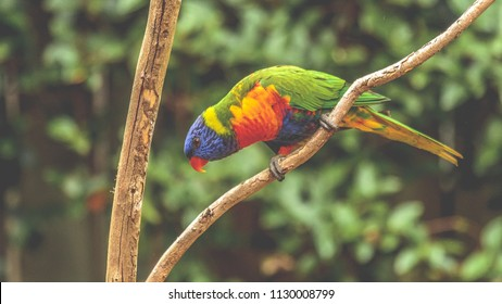 A Lorikeet leaning forward on a branch.