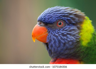 Lorikeet Parrot Bird tropical bird