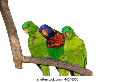 Lorikeet Trio on Tree Branch Isolated on White with Clipping Path