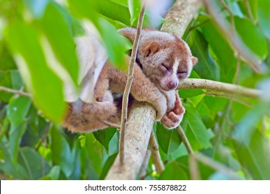 Loris sleeping in the tree.