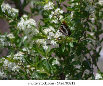 Lorquin's Admiral Butterfly -Limenitis lorquini