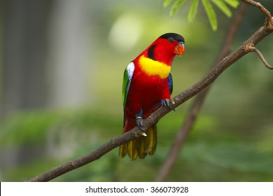 Lory or Black-capped Lory head(Lorius lory)
