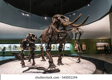 LOS ANGELES, CA - December 19, 2016: three wooly mammoth fossils at the Los Angeles County Museum of Art.