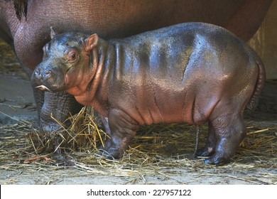 LOS ANGELES, CA - NOVEMBER 3, 2014: A four day old hippopotamus stands next to its mother and looks toward the camera at the Los Angeles Zoo on November 3, 2014. The calf was born October 31, 2014.