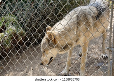 LOS ANGELES - JAN 9: Wolf at the Wildlife Waystation animal sanctuary after wolves were rescued from a fur farm in the midwest on August 17, 2018 in Sylmar, Los Angeles, CA